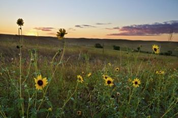 Wild sunflowers at sunset.