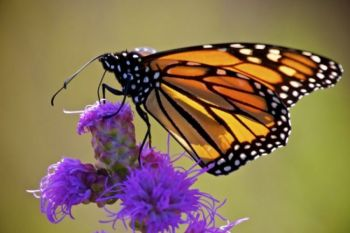 A Monarch dines on an ironweed flower.