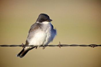 Eastern kingbird on a wire.