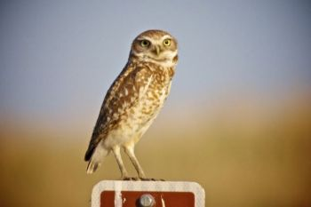 A burrowing owl perched on a Grassland mile marker.
