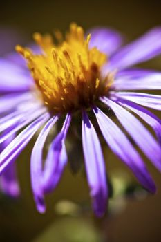 The last of the year's wildflowers, the hoary aster, still in bloom in late September.
