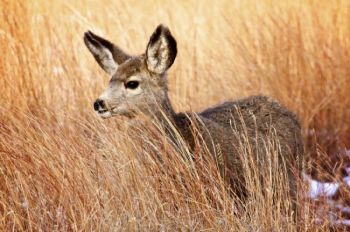 Tall grass partially hides this mule deer fawn.