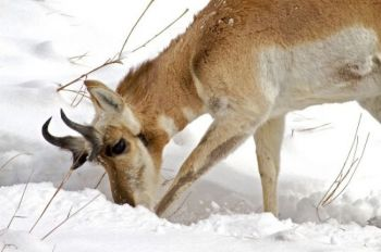 Dig for your dinner — this pronghorn searches for a prickly pear on a cold, snowy February morning.