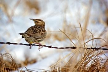 Another Moody County meadowlark found a better perch.