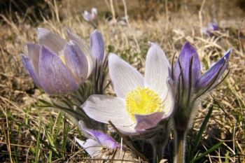Pasqueflowers from the spring of 2010.