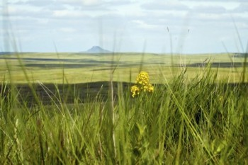 Western Wallflower with Thunder Butte in the distance.