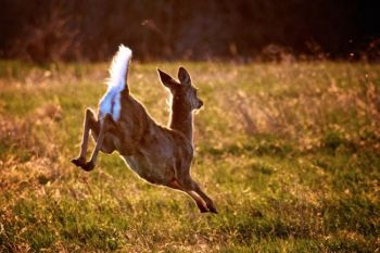 A white-tail deer fleeing in the evening light.