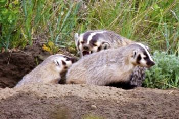A badger playfully chides her cubs on the topside of their den found in a creek that feeds the southern arm of the Shadehill Reservoir.