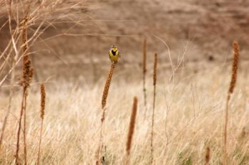 This meadowlark favored the scenery at the Badlands South Unit near Sheep Mountain Table.