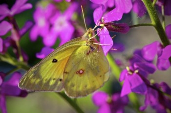 A Clouded Sulphur Butterfly visits some purple phlox.