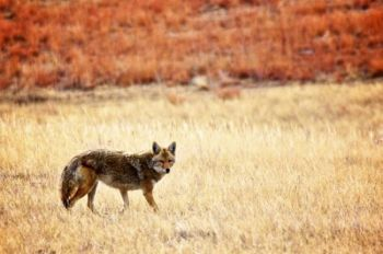 This lone coyote hunts along the edge of a Wind Cave Park prairie dog town.