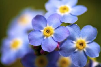 Forget-me-nots blooming along Spearfish Creek's edge.