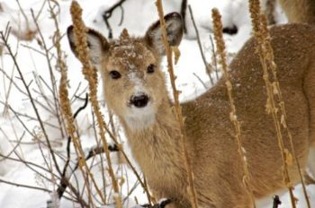 A yearling deer in deep winter.