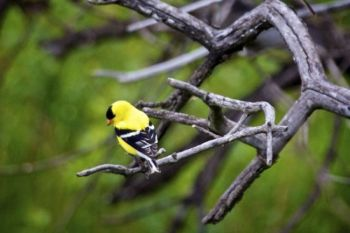 This American Goldfinch perches above the same creek.