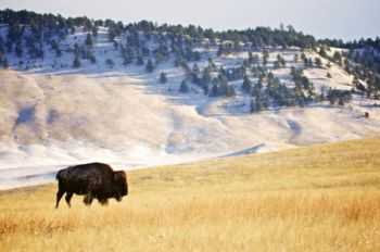 A stately bison bull on a crisp winter morning.