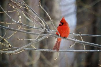 A male Northern Cardinal at the Sioux Falls <a href='http://gfp.sd.gov/outdoor%2Dlearning/outdoor%2Dcampus/east/default.aspx' target='_blank'>Outdoor Campus</a>.