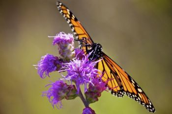A monarch feeds on ironweed.