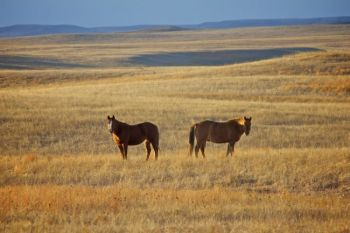 Two horses graze in the evening light of Ziebach County near Thunder Butte.