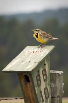 This meadowlark was spotted in Custer State Park.