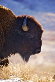 Temperatures in the low teens don't seem to faze the hearty bison.