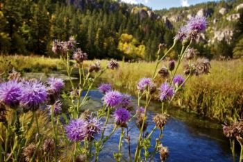The last of summer's blooming thistle along the banks of Little Spearfish Creek.