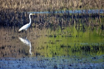 A Great Egret on Mud Lake.