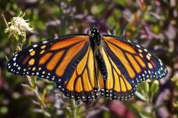 A female Monarch soaks in the sun.