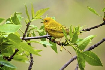 Happy morning song from a Yellow Warbler.