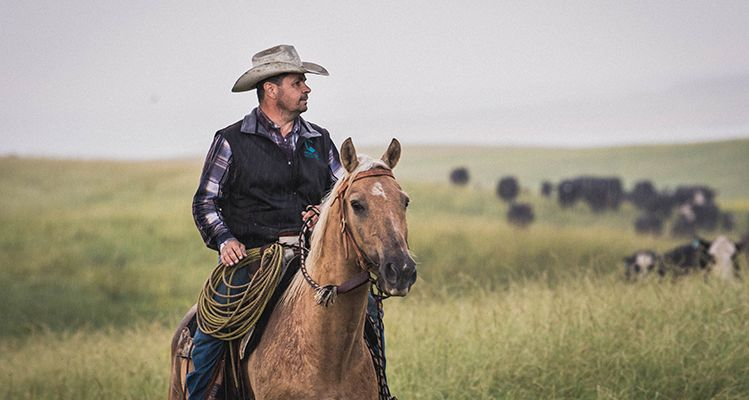 Zach Ducheneaux leads his cattle to the branding pen on the DX Ranch, located on the Cheyenne River Sioux Reservation. Photo by Kaila Baril.