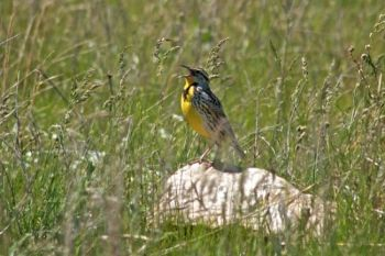 A Wind Cave National Park meadowlark in full song.