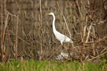 Another egret stands watchfully.