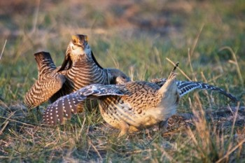 Gotta defend your ground — a Prairie Chicken and a Sharp-tailed Grouse face off.