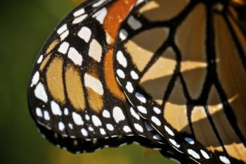 Detail of a monarch's wing.