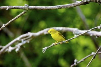A Yellow Warbler with a strand of cobweb. Will it become part of his nest?