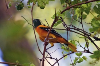 A Baltimore Oriole perches among the leaves.