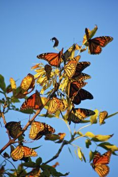These butterflies rested in Sica Hollow before continuing on their 2011 migration.