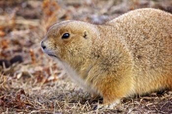 A brave prairie dog forages along the border of Custer State Park and Wind Cave National Park.