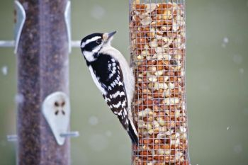 Can you identify this bird? Christian thinks it is a female downy or hairy woodpecker.