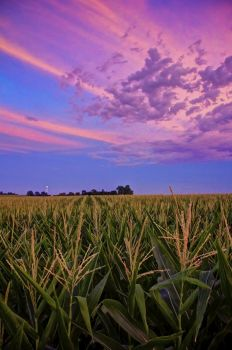 Post-sunset color above a cornfield in Minnehaha County.
