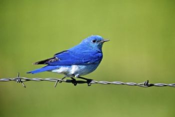 A Mountain Bluebird rests on a fence on the edge of the park.