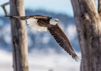 About 300 bald eagles spend the winter in South Dakota along the Missouri River or in the Black Hills. Photo by Harlan Humphrey.