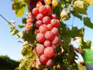 Our state's climate is too cold for most common wine grape varieties to flourish, but cold-hardy vines thrive.