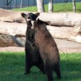 Bear Country USA is home to the largest collection of privately owned black bear in the world.