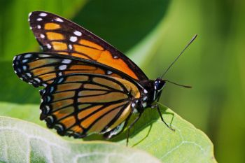 A viceroy butterfly that fluttered along a gravel road on the west side of Lake Hendricks in Brookings County.