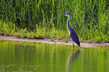 A Great Blue Heron standing out against the green landscape of the southern reaches of Bitter Lake in Day County.