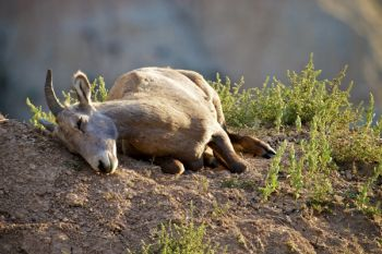 A bighorn ewe seems to be napping. In reality, she is trying to dislodge some pesky insects from buzzing her ears.