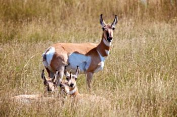 A pronghorn family resting on the prairie.