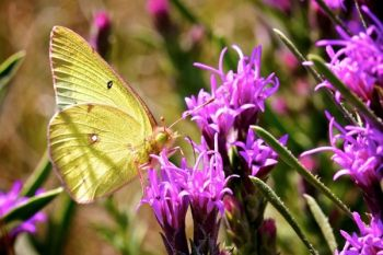 A common clouded yellow butterfly dining on the gayfeathers.