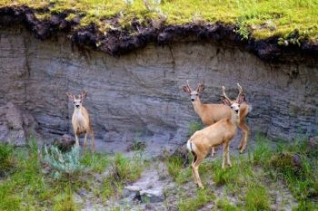 Young bucks below a cutbank just below a high point in the wall.
