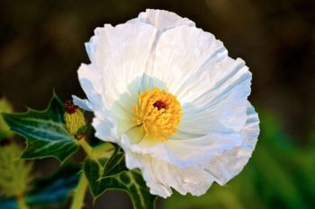 A crested pricklypoppy in bloom.